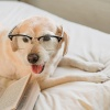 white lab with glasses on bed